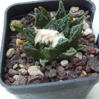 A. bravoanus ssp.hintonii-1